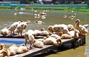 足場の上で毛繕いをしたり水田を泳いだりするアヒルのひな(南丹市園部町大西)
