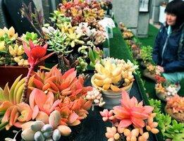 ユニークな姿の多肉植物が並ぶ会場(京都府福知山市猪崎・市都市緑化植物園)