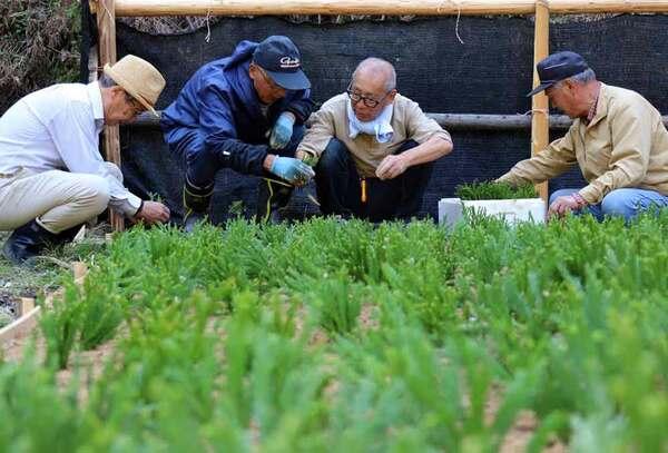 シロスギを挿し木で増やす作業に汗を流す住民ら(京都市北区中川)