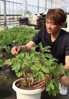 美容や健康に効果があるとされるボタンボウフウの生育状態を確かめる井入さん(守山市立田町)