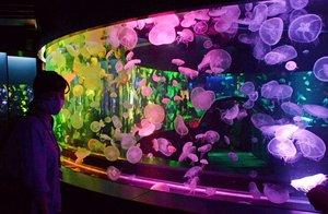報道陣に公開された京都水族館のクラゲ新展示エリア(15日午前11時13分、京都市下京区)
