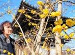 観音寺の境内で無数のかれんな花をつけるロウバイ(福知山市観音寺)