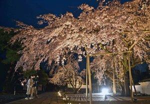 見ごろを迎えたしだれ桜がライトアップされた庭園(20日午後6時32分、京都市伏見区・醍醐寺三宝院)