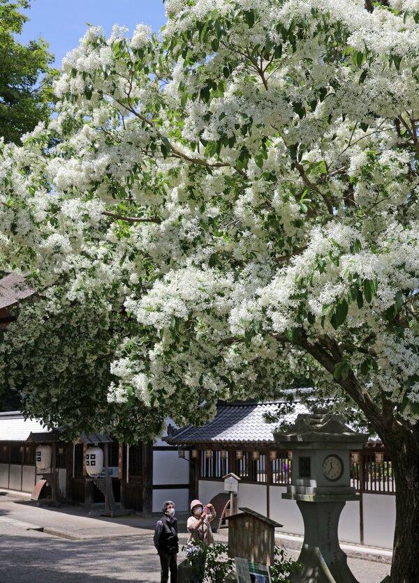 満開を迎え、雪に覆われたように初夏を彩る「なんじゃもんじゃ」の木(近江八幡市安土町・沙沙貴神社)