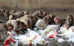 果物や野菜が入った氷に群がるサルたち(京都府福知山市猪崎・市動物園)