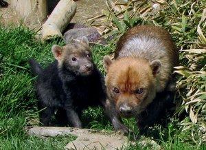 父デンマル(右)に寄り添い、愛らしい表情を見せるヤブイヌの子ども=京都市動物園提供