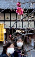 枝先に愛らしい花をつけた北野天満宮の寒紅梅(8日午後1時57分、京都市上京区)
