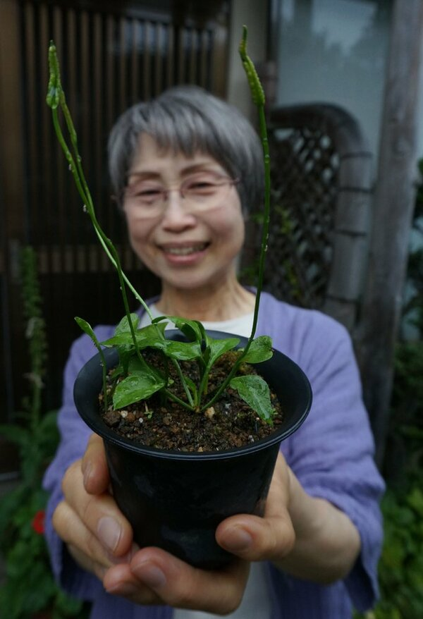 近藤さん宅の庭の植木鉢で成長した府絶滅危惧種のコハナヤスリ(亀岡市大井町)