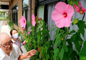 直径20センチ以上の大きな花を咲かせた「タイタンビカス」(京都府八幡市男山)