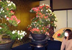 一つの鉢に赤や白ピンクの花を咲かせるサツキの盆栽「旭の泉」(滋賀県長浜市港町・慶雲館)