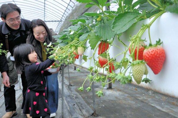 イチゴ狩りを楽しむ家族連れ(精華町下狛・華やぎ観光農園)