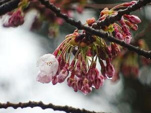 松前公園で開花したソメイヨシノ=20日(北海道松前町提供)