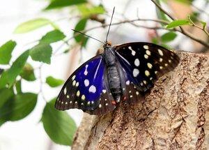 青紫色の羽に赤い斑点が特徴的なオオムラサキ(京都府福知山市)