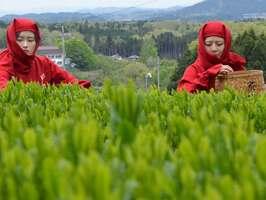真っ赤な忍者装束を着て茶摘みに励む女性たち(滋賀県甲賀市水口町)