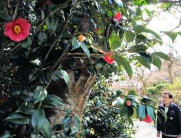 赤い花が静かに咲き誇る「白谷の夫婦椿」(滋賀県高島市マキノ町白谷)