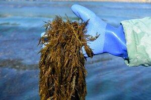 宮津市の養老地区で養殖されたアカモク。2月中をめどに出荷される(同市大島)