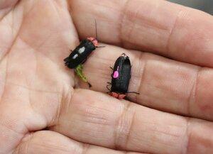 装置の中で羽化したゲンジボタルの成虫