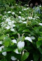 葉の半分以上が白く染まり、見頃を迎えたハンゲショウ(京都市左京区・府立植物園)