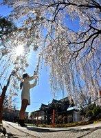 雲一つない青空を覆うように咲き乱れるシダレザクラ(23日、京都市上京区・本満寺)