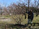 府立植物園に寄贈された彬姫桜を見つめる中井さん。早咲きで近々開花する見込み(京都市左京区・府立植物園)