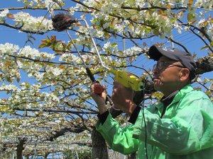 満開のナシの花に人工授粉をする川村さん(10日、彦根市石寺町)