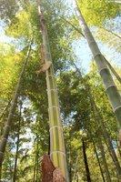 金色の縦じま模様の竹(京都市西京区)