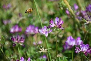 小西さんのレンゲ畑で蜜を集める蜂(京田辺市河原)