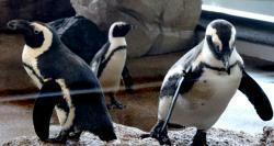 京都水族館で飼育するケープペンギン