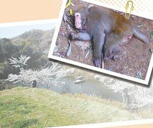 和歌山県内で捕獲された交雑種(和歌山県提供)。背景はかつてタイワンザルのいる動物園があった地区=コラージュ