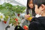 観光農園を訪れ、大粒のイチゴを収穫する子どもたち(精華町下狛)