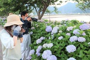 色とりどりのアジサイにカメラを向ける写真愛好家ら(滋賀県東近江市宮荘町)