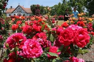 赤や黄色などの花が咲き誇るバラ園(日野町西大路・ブルーメの丘)