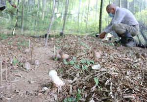 キヌガサタケを育てるほ場。キノコになる前の球形の菌蕾が至る所に顔を出している(伏見区)