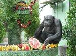 敬老会で長生きを祝ってもらう1970年生まれの雄のチンパンジー「レノン」(熊本県宇城市・京都大熊本サンクチュアリ)=京大野生動物研究センター提供