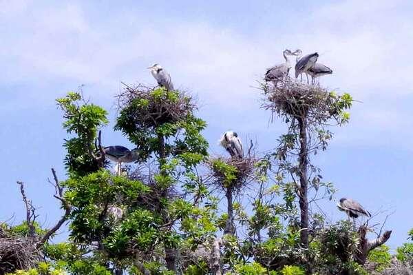 「たも」の木に巣を作り群がるアオサギ