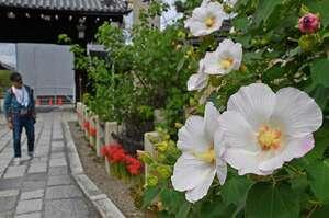 白やピンクのフヨウと、真っ赤なヒガンバナのコントラストが美しい境内(29日午後1時35分、京都市上京区・妙蓮寺)