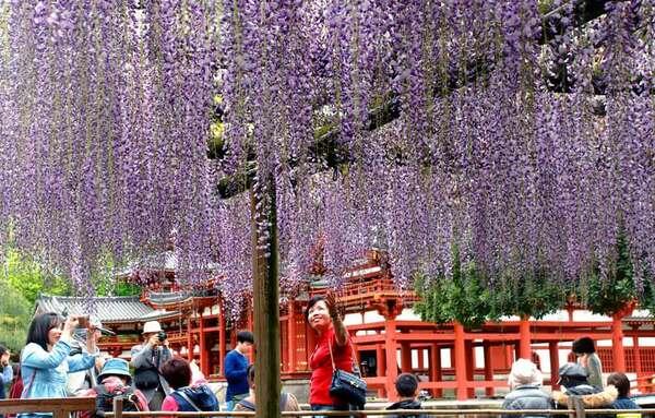 薄紫色のシャワーが鳳凰堂に降り注ぐように咲き誇るフジ(京都府宇治市宇治・平等院)