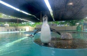 寒冷紗に覆われ、日陰になっているフンボルトペンギンのプール(4日、京都市左京区・市動物園)