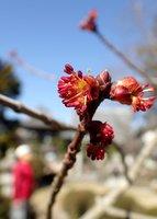 枝先に小ぶりの花を咲かせたハナノキ(東近江市南花沢町・八幡神社)