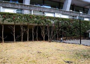 シカの食害を受けた植木(フェンス手前)。芝生にはふんが散乱する=京都市左京区・国立京都国際会館