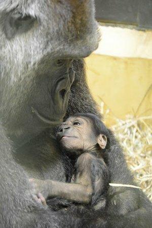 母親のゲンキに抱かれるニシゴリラの赤ちゃん(京都市動物園提供)