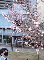 見頃を迎えた十月桜(長岡京市神足2丁目・バンビオ広場公園)