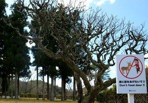 シカへのエサやり禁止を呼び掛ける庭園内の看板。ウメの花はシカに食べられ上部しか咲いていない(京都市左京区・国立京都国際会館)