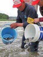 由良川漁協による稚アユの放流(2019年5月21日午前10時、福知山市猪崎・由良川左岸)
