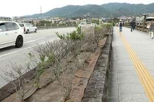 宇治橋の歩道に沿って植えられている茶の木。枯れが目立ち、植え替えが検討されている(宇治市宇治)