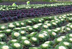 紅白の大輪が見頃を迎えたハボタン園(京都府福知山市三俣)