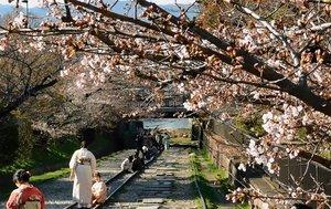 薄紅色に染まり始めた蹴上インクラインの桜並木(京都市左京区)