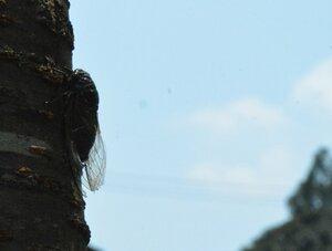強い日差しの中、クマゼミがしきりに鳴き声を響かせていた(8月6日午前11時半、京都市北区)