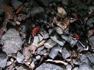 昆虫の死骸をエサとして集めるムネアカオオアリ