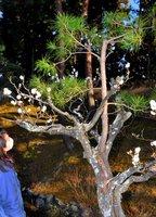 梅の木の中から育った松。一体化した様子に「縁起がいい」との声も聞かれる(京都府精華町精華台・けいはんな記念公園)